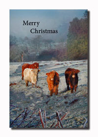 Highland Cattle Christmas Card